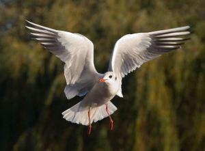black-headed_gull_-_st_james_27s_park_2c_london_-_nov_2006_edit2