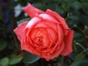 Rosa45452