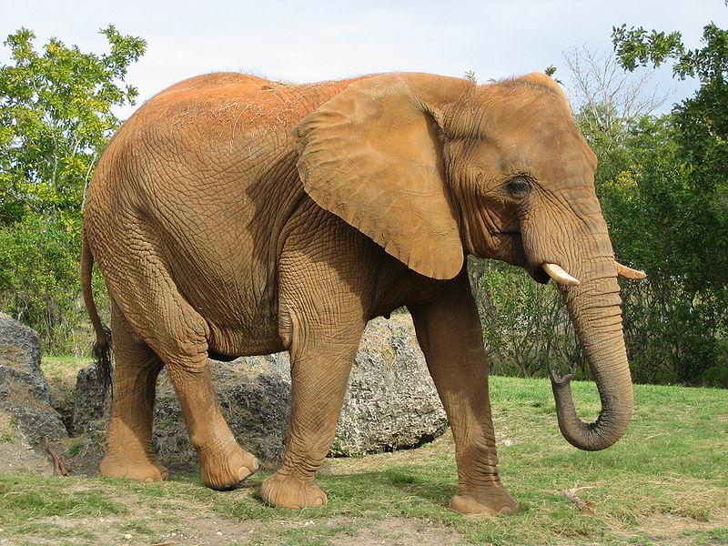 800px-Afrikanischer_Elefant,_Miami