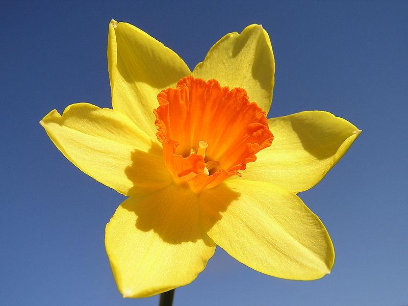 800px-Narcissus-closeup