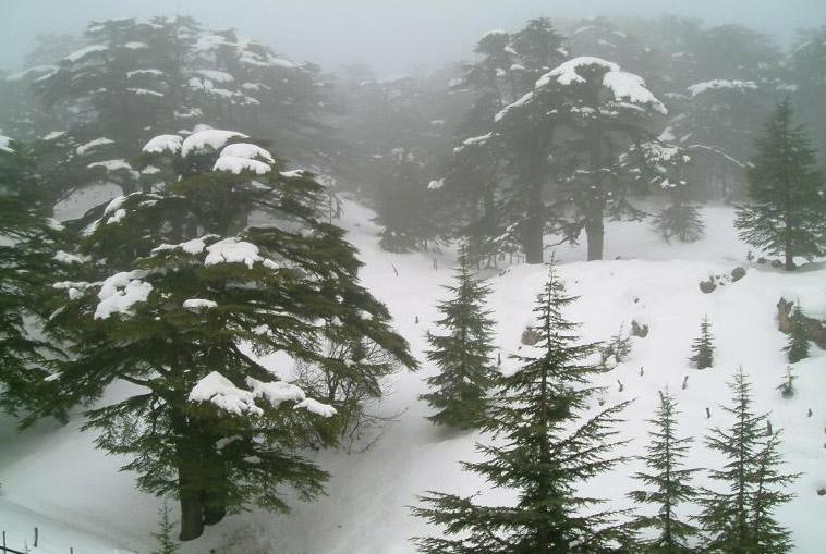 Cedars_under_the_snow