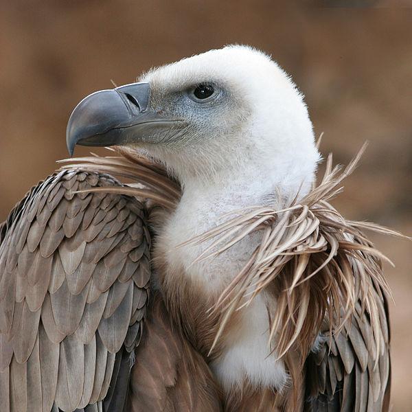 avvoltoio source wikipedia