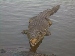 800px-Crocodile_du_Nil