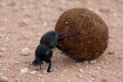 dung-beetle-11413600