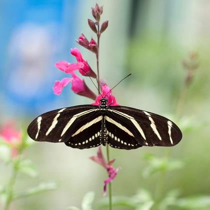 105-zebra-longwing-l