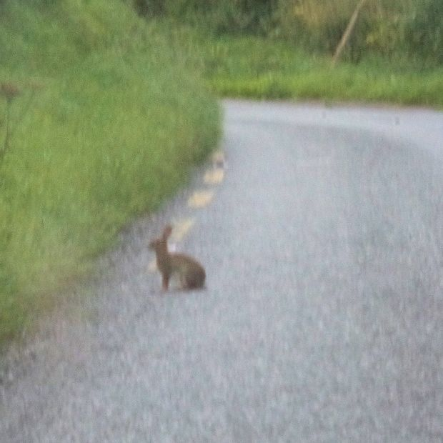 hare on the road cut 17072016