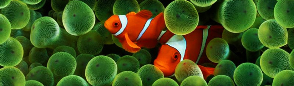 clown-fish-header-2061-1024x300