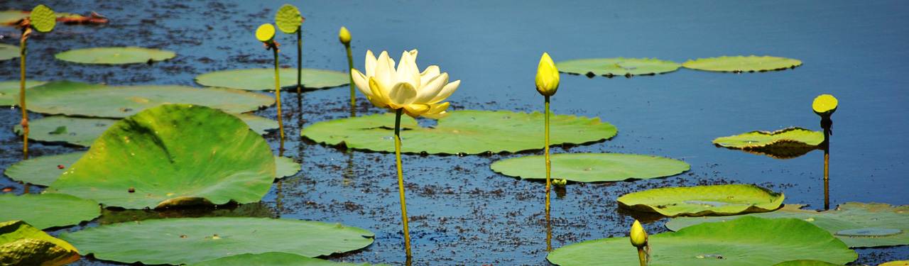 aquatic-plant-and-green-floating-leaves-website-header
