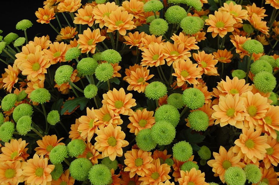 1024px-chrysanthemum_enbee_wedding_golden_and_feeling_green