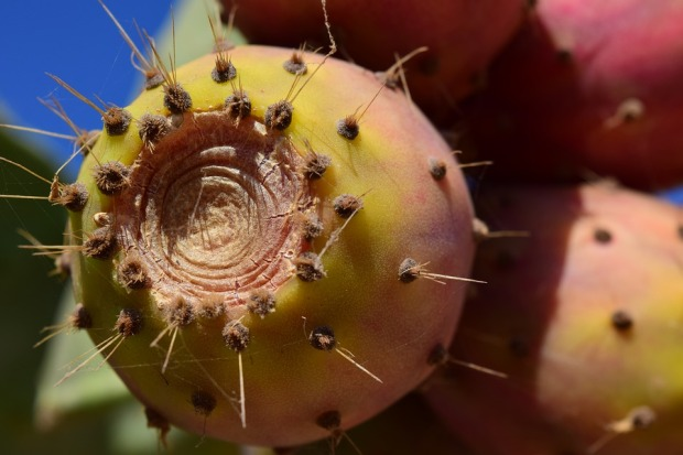 prickly-pear-1608572_960_720.jpg