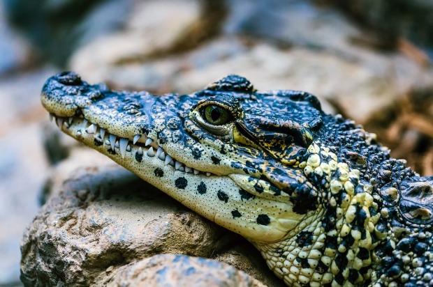alligator-2064519_960_720