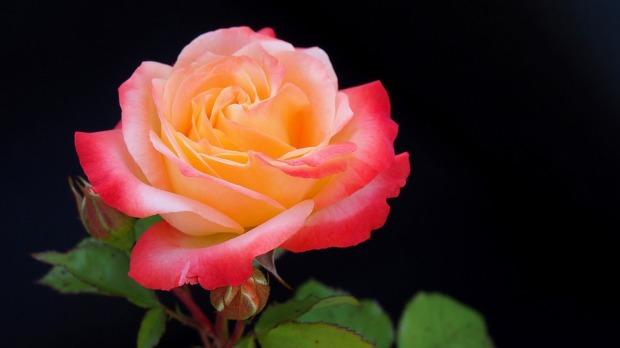 rose-2441878_960_720