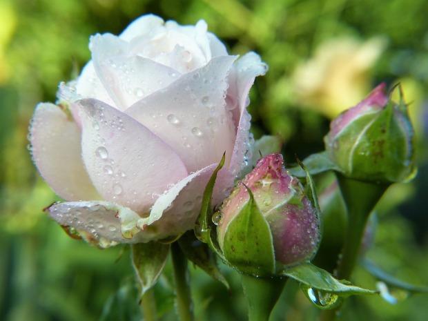 rose-2634474_960_720.jpg