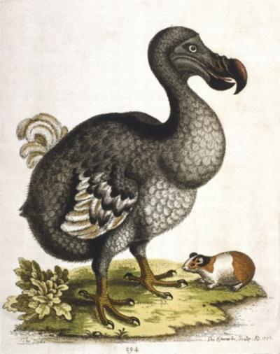 Portrait of dodo bird