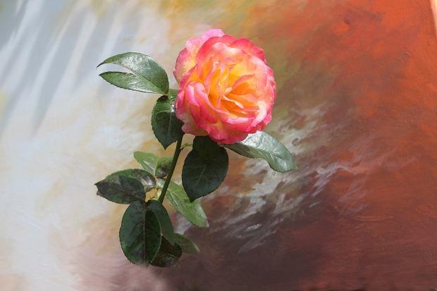 rose-2761998_960_720