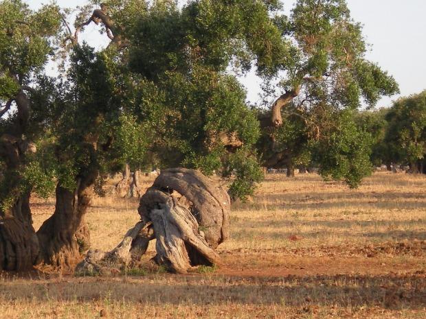 olive-tree-349335_960_720