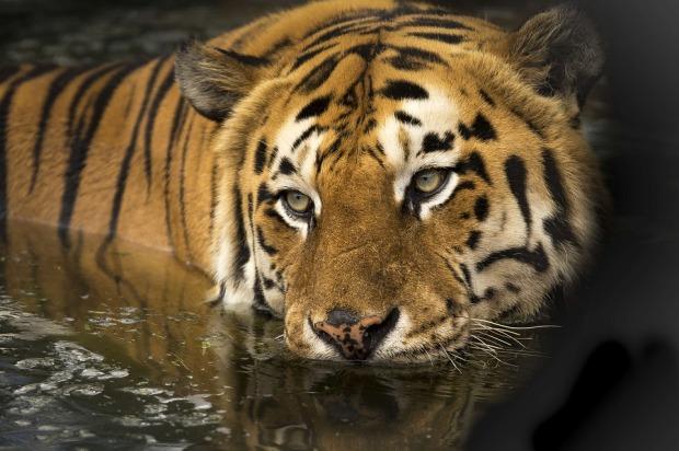 tiger-2791980_960_720