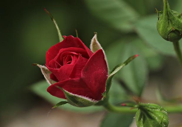 rose-2396773_960_720