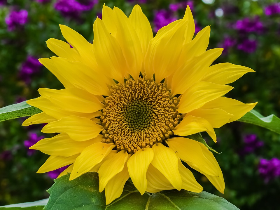 sunflower-3215094_960_720