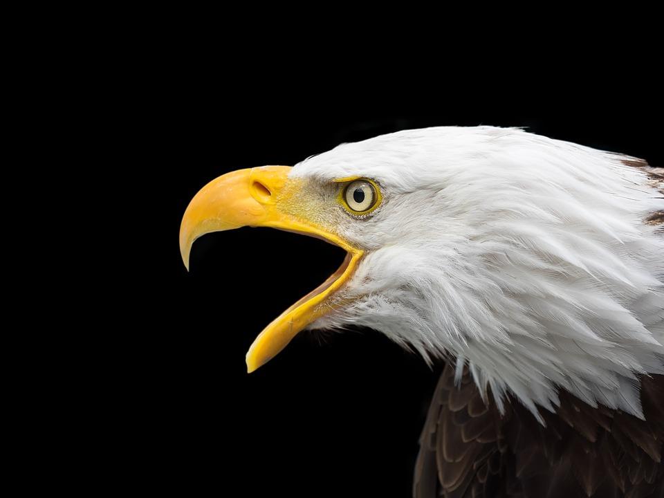bald-eagle-2715461_960_720