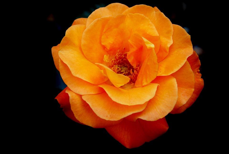 rose-2481042_960_720