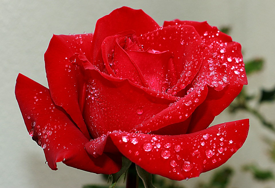 rosa-3409888_960_720