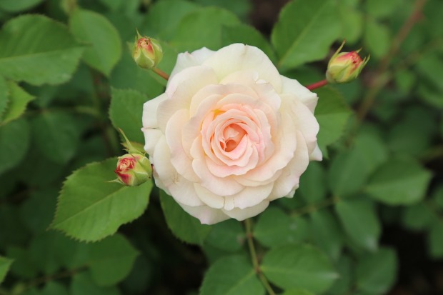 rose-3384487_960_720