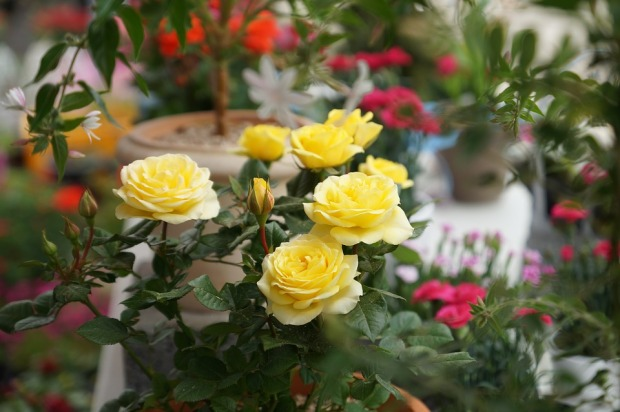yellow-roses-3382401_960_720