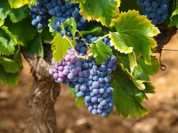 vines-1747224_960_720