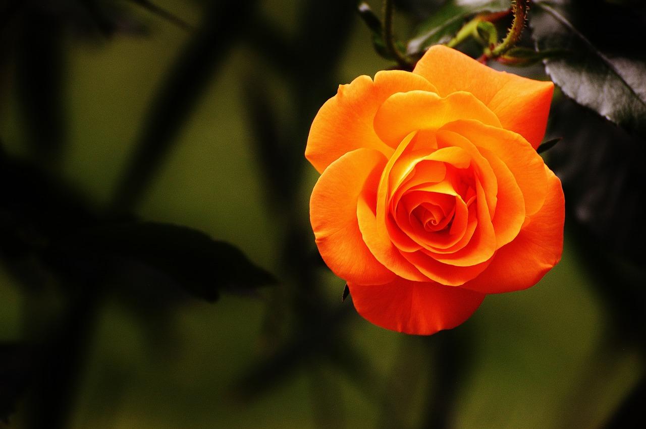 rose-1503881_1280